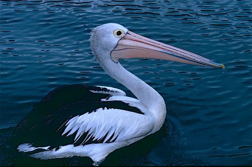 Australian Pelican (Pelecanus conspicill by berniedup, on Flickr