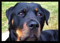 Maddie (Maw*Maw) Tags: portrait dog pet face rottweiler rotweiler rottweiller muzzle rotweiller