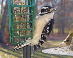 Downy Woodpecker male—13Nov12 (Bob Vuxinic) Tags: downywoodpecker picoidespubescens crossvilletennessee cumberlandplateau 13nov2012 bird suetfeeder