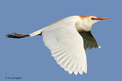 Cattle egret in flight........D800 (Larry Daugherty ` very slow for several days :-)) Tags: heron cattle ngc aves 100v10f npc egret ardeidae bubulcusibis ciconiiformes bubulcus bibis chordata anamalia platinumheartaward saariysqualitypictures mygearandme mygearandmepremium mygearandmebronze