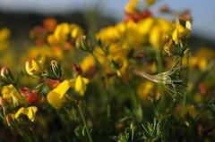 Lotus corniculatus (ΞSSΞ®®Ξ) Tags: flowers light red summer italy orange yellow countryside dof purple angle pentax pov greens lazio k5 ξssξ®®ξ