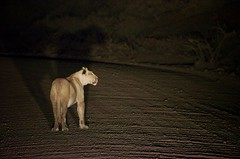 2013-08-29 at 21-47-47 (Namibia Endless Horizon) Tags: kill wildlife lion nighttime nightsafari damaraland lionkill grootberg namibianamibia