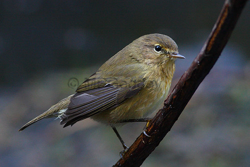 """Chiffchaff, St. Mary's, 19.10.13, Martin Goodey • <a style=""""font-size:0.8em;"""" href=""""http://www.flickr.com/photos/30837261@N07/10418828925/"""" target=""""_blank"""">View on Flickr</a>"""