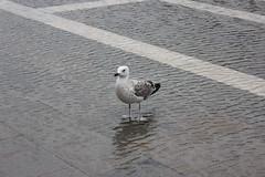 Ah, da quella parte c lacqua, qua pure ma se po sap dove se p st un po allasciutto? Ci tutte le piume intirizzite! :-) (Magic Garden 2012) Tags: seagulls water wasser acqua gabbiani mowen