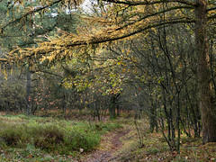 The colours of autumn (joeke pieters) Tags: autumn holland fall nature netherlands forest woodland woods herfst nederland larch bos achterhoek winterswijk natuurmonumenten gelderland lariks corle mentink blinkagain 1120210 panasonicdmcfz150