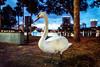 Blue Hour Swan (Sky Noir) Tags: travel blue lake orlando swan downtown florida availablelight hour fl eola skynoir
