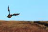 Red grouse in flight (markrellison) Tags: wild bird birds flying northwest unitedkingdom wildlife derbyshire peakdistrict flight grouse peak 300mm moors f80 moor takeoff moorland lightroom redgrouse iso1000 lr4 11600sec ef300mmf4lisusm canoneos5dmarkiii lightroom4