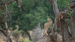 Cheetah Hunting (Raymond J Barlow) Tags: africa travel tanzania wildlife adventure cheetah allnaturallight raymondbarlowphototours