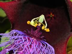 Passiflora amethystina, Stapelia leendertziae (A Botanical Wonderland (Million+ views)) Tags: flower no passion species passiflora maracuja stapelia orbea asclepiadaceae amethystina huernia duvalia caralluma leendertziae
