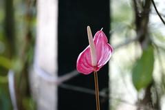 GREEN-WORLD (ddsnet) Tags: plant flower sony hsinchu taiwan 99 anthurium      slt   peipu greenworld    singlelenstranslucent 99v
