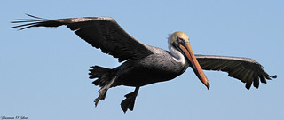 A pelican glides by making a long, lazy slice through the air.