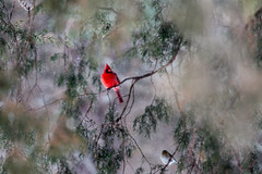 _MG_8212 (Bscottberg) Tags: winter snow bird cardinal wildlife snowing starvedrock tamron70200 canon70d starvedrocl