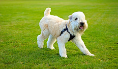 nonadherence (schoolboyphotos) Tags: dog grass soft terrier playful coated wheaton