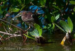 Got me one (ChicagoBob46) Tags: bird heron sanibel sanibelisland greenheron jndingdarlingnwr