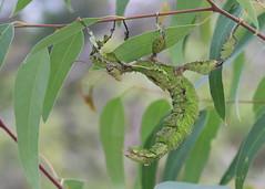 Spiny Leaf Insect (Greg Miles) Tags: australia nsw newsouthwales extatosomatiaratum spinyleafinsect kulnura noonaweena