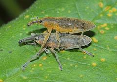 Lixus angustatus (tristanba) Tags: coleoptera curculionidae