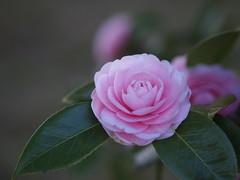 (Polotaro) Tags: flower nature pen olympus camellia   zuiko ep1  3     mzuikodigital45mmf18 epm2