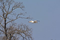 PELICAN FLYOVER (Lisa Plymell) Tags: blue bird nature pelican sigma150500 nikond5200