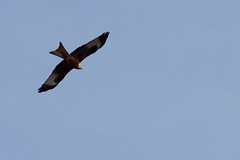 """High as a kite"" (Biker Jun) Tags: march abingdon redkite 2014 canon7d soundtrackmonday"