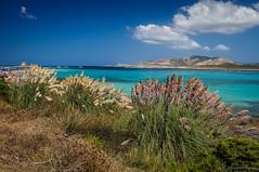 Vegetacin de playa (SantiMB.Photos) Tags: sardegna beach geotagged italia playa ita pampasgrass stintino cortaderiaselloana lapelosa plumeros 2tumblr sal18250 vacaciones2013 2blogger geo:lat=4096433281 geo:lon=820990384