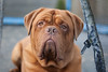 What a Dude (Harold Bishop's Love Child) Tags: boy dog pets up closeup de french eyes close mastiff relaxing bordeaux handsome droopy trampoline wrinkles jowls dogue doguedebordeaux frenchmastiff