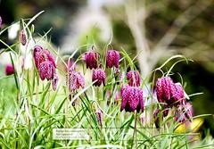 Snakes Head (doublejeopardy) Tags: cornwall lily nationaltrust fritillaria snakeshead flowersandplants trelissick