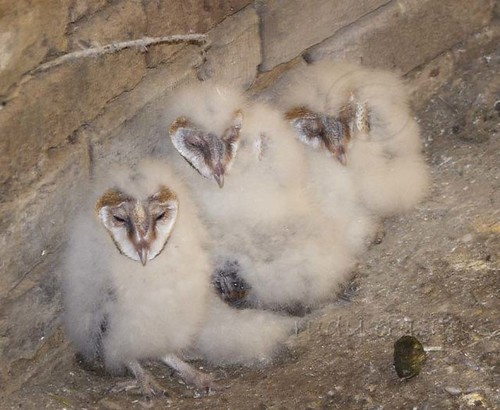 Western Barn Owl  chicks _1400