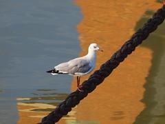 Seagull rope (Gwenol de KERMENGUY) Tags: de marin artiste gwenole kermenguy