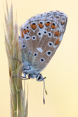 Himmelblauer Bläuling (Polyommatus bellargus)_Q22A2186 (Bluesfreak) Tags: insekten hardheim himmelblauebläulingpolyommatusbellargus nsgwurmbergundbrã¼cklein