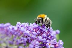 Bumblebee (Mathias Appel) Tags: hairy plant flower macro cute hair insect bokeh pflanze adorable bumblebee lilac blume makro insekt hummel niedlich haar flieder haarig ss