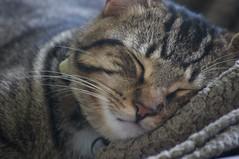 Le repos aprs une nuit  bambocher (AlainC3) Tags: animal cat nikon chat animaux minou repos sommeil sieste museau tigr d90 chamane