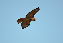 In Flight (Neal D) Tags: bc delta boundarybay bird hawk redtailedhawk
