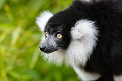 Black and White Ruffed Lemur (Mathias Appel) Tags: grã¼n black white ruffed lemur schwarz weiser vari lemuren animal tier zoo tierpark deutschland germany eyes augen madagaskar madagascar fell fur niedlich adorable cute eye auge feet füse foot fus nikon bokeh world festival day critically endangered public domain blurred background leaves green tree branch iucn red list bamboo bambus schwarzweis lémur rufo blanco y negro noir et blanc bianconero wari vareciapretoebranco svartvit var lady outside screaming schreien schrei scream
