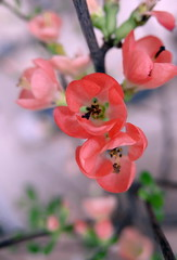 Blossom Branch (louise peters) Tags: quince kweepeer japansekweepeer blossom bloesem bloesemtak branch flower bloom bloem pink roze spring lente macro