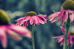[spring] (bandel_photography) Tags: blume blumen flower flowers frühling spring natur nature bokeh blende18 blende photography fotografie makro macro