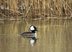 Hooded Merganser (a56jewell) Tags: a56jewell duck hoodedmerganser longpoint spring
