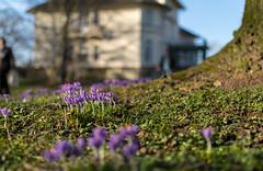 Frühling (brotundspiele) Tags: krokusse gutspark schloss park frühling blüte krokus crocus