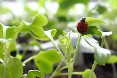 (fromourgarden) Tags: setzlinge indoor wucherblume tanacetum insects läuse aphidoidea marienkäferchen coccinellidae