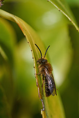 Male miner bee #3 (Lord V) Tags: macro bug insect bee minerbee andrena