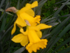 Twos Company (claire artistandpoet Stroke Survivor) Tags: two company daffodil spring