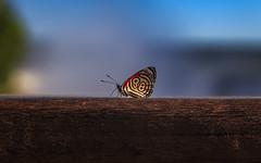 An Anna´s Eighty-eight Butterfly (Diaethria anna) shot at Iguazu Falls, Brazil (Kenneth Back) Tags: anna´seightyeight fozdoiguacu cataratas butterfly brazil eightyeightbutterfly waterfall insects iguazufalls iguassufalls paraná br