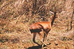 Steenbok (Rob van t Padje) Tags: flickr zoogdieren phalaborwa zuidafrika zaf