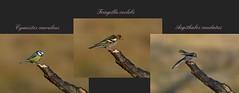 Cinciarella - Fringuello - Codibugnolo (franco4553) Tags: cervara cinciarella fringuello codibugnolo