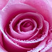 "Dewy Pink Rose • <a style=""font-size:0.8em;"" href=""http://www.flickr.com/photos/124671209@N02/33063215263/"" target=""_blank"">View on Flickr</a>"