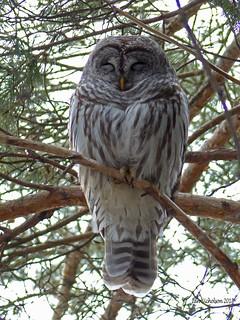 Barred Owl (Strix  varia), Ottawa ON