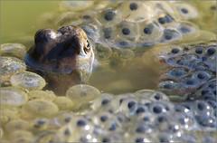 Au périscope (berthou.patrick) Tags: les grenouilles rousses