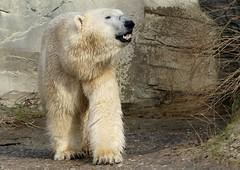 Polar Bear Nanuq (BrigitteE1) Tags: polarbearnanuq nanuq eisbär polarbear zoo erlebniszoohannover deutschland germany ursusmaritimus europa europe flickr panasonic fz300 bär bear ours oursblanc specanimal white 北极熊 isbjørn jääkarhu nanoq isbjörn orsopolare シロクマ ijsbeer niedźwiedźpolarny белыймедведь osopolar jegesmedve animal vulnerablespecies carnivorous