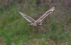 DSC5412  S.E.O... (jefflack Wildlife&Nature) Tags: owl owls avian animal wildlife wetlands moorland meadows marshland marshes farmland countryside raptors nature ngc coth5 sunrays5 birdsofprey birds wildbirds shortearedowl