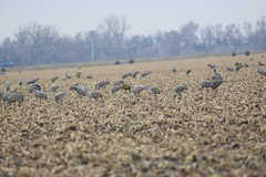 Sandhill Cranes on day 3 Neb in Mar (81) (pamswatercolors) Tags: calls pamelagunn kearney nebraska sandhillcranes march2017 birds photography canon5dmarkiii nature