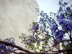 Pajarito (mayavilla) Tags: pajarito pajaro arbol jacaranda morado ramas bird purple flowers primavera spring